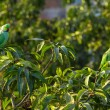 Stock Photo: IndiRingnecked Parakeet parrots on tree