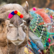 Camel with colored decoration in Pushkar, Rajasthan, India — Stock Photo