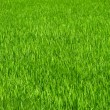 Green grass rice field background — Stock Photo