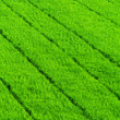 Green grass rice field background — Zdjęcie stockowe