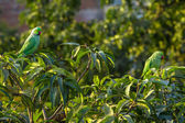 Indian Ringnecked Parakeet parrots on the tree — Stock Photo