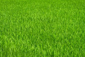 Green grass rice field background — Stock Photo