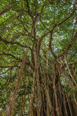 Big beautiful banyan tree — Stock Photo
