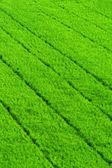 Fondo de campo de arroz de hierba verde — Foto de Stock