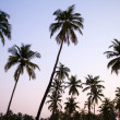 Stock Photo: Palm trees silhouette at the sunset, India