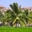 Stock Photo: Palm trees at green rice field in Hampi, Karnataka, India