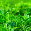 Fresh tea leaves closeup — Stock Photo