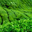 Stock Photo: Fresh tea leaves closeup