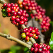 Coffee beans ripening on a tree — Stock Photo #26567155