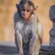 Grey langur, black faced baby monkey sitting on a wall — Stock Photo #26567307