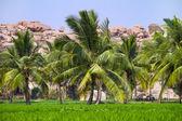 Palm trees at the green rice field in Hampi, Karnataka, India — Stock Photo