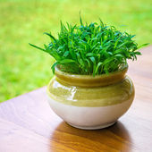 Green vibrant grass in the pot close-up — Stock Photo