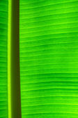 Green banana leaf texture background — Stockfoto