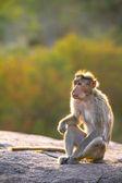 The rhesus macaque monkey (Macaca mulatta) — Stock Photo