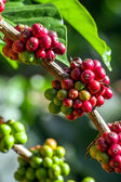 Coffee beans ripening on a tree — Stock Photo