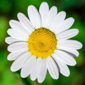 Close up of chamomile flower — Stock Photo