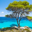 Pine forest tree by sein Halkidiki, Greece — Stock Photo #30559789