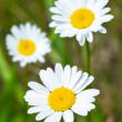 Close up of chamomile flower — Foto de Stock