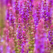Постер, плакат: Beautiful purple wild lupins flowers