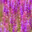 Stock Photo: Beautiful purple wild lupins flowers