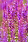 Beautiful purple wild lupins flowers — Stock Photo