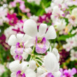 Beautiful orchid flowers closeup — Stock Photo