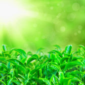 Fresh green tea leaves with sun beams and sunny bokeh — Stock Photo