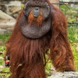 Dominant male orangutwith signature developed cheek in th — Stock Photo #38475919