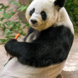 Stock Photo: Giant panda eating bamboo