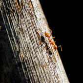 Ant on a wooden surface close-up — Stock Photo