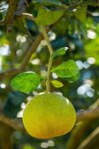 Pomelo fruit on a tree closeup — Stock Photo