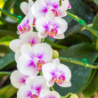 Beautiful pink and white orchid flowers — Stock Photo