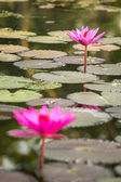 Beautiful pink water lily closeup — Stok fotoğraf