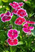 Beautiful pink flowers closeup — Foto Stock