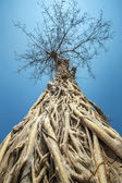 Big tree with roots — Stock Photo