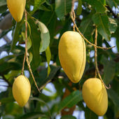 Mango fruits on a tree close-up — 图库照片