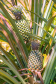 Ripe pineapples growing on the bush at the plantation — Stock Photo