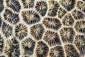 干海珊瑚 — 图库照片