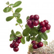 Cranberry and moss on white background — Stock Photo