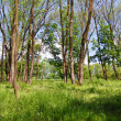 Young spring forest — Stock Photo