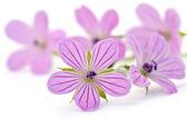 Mooie paarse bloem — Stockfoto