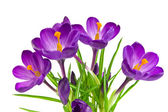 Beautiful violet crocus isolated on white — Foto Stock