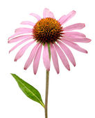 Pink Echinacea purpurea flowers — Stock Photo