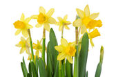 Yellow Flowers on white background close up. Daffodil flower or  — Stock Photo