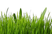 Isolated green grass on white background — Stockfoto