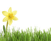 Daffodil flower or narcissus over white background — Stock Photo
