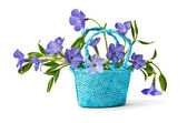 Basket with blue flowers periwinkles  — Stock Photo