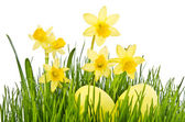 Yellow Flowers and easter eggs. Daffodil flower or narcissus ove — Stock Photo