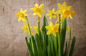 Beautiful yellow daffodils  on burlap background — Stockfoto