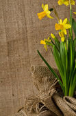 Beautiful daffodils in pot on burlap background — Stockfoto